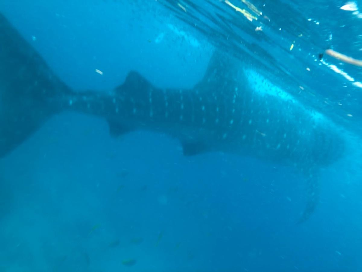 Oslob Whale Shark Snorkeling and Badian Canyoneering Adventure - Klook